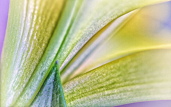 Lily Abstract 4 by Jeanne Hoadley