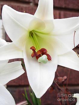 Jaclyn Hughes Fine Art - Lily Beauty
