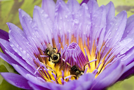 Lily Bees by Marilyn Hunt
