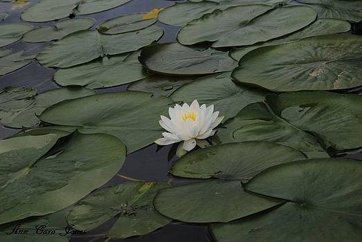 Lily in a pond by Anna Liza Jones
