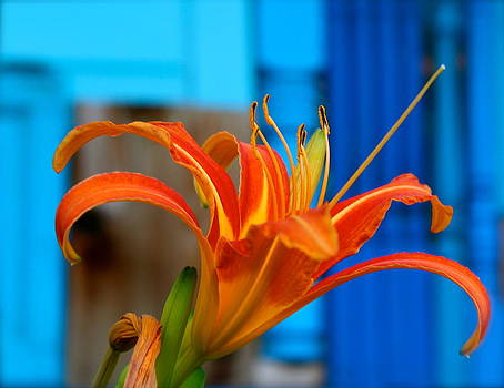 Lily in Blues by Kim Kruger