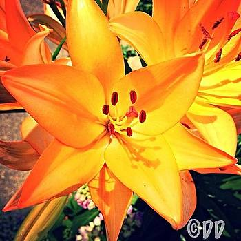Lily In My Back Yard by Danielle McNeil