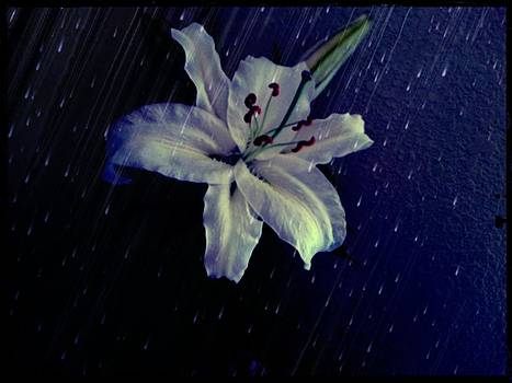 Lily in the Rain by Terry Atkins