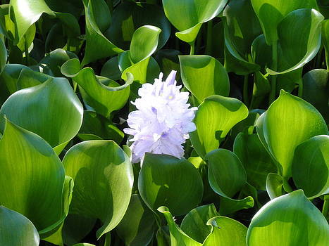 Lily of the Pond by Rose Szautner