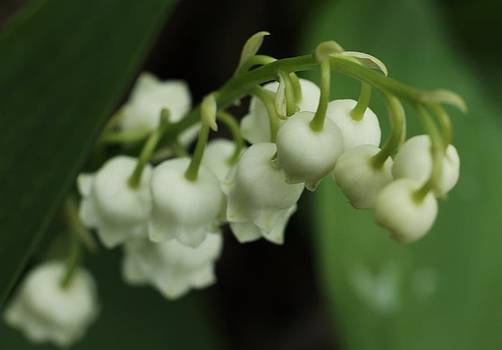 Rosemarie E Seppala - Lily Of The Valley Macro