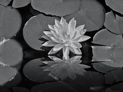 Lily on the pond by Guillermo Rodriguez