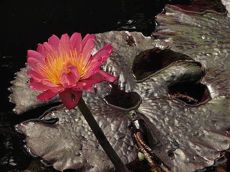 Lily Pad 2 by Michael Rudolf