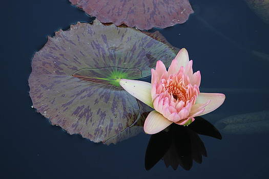 Lily Pad Flower by Kim Baker