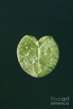 Mark Newman - Lily Pad
