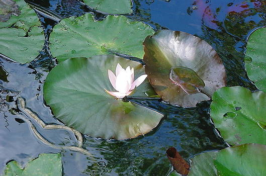 Lily Pad by Mike McCool