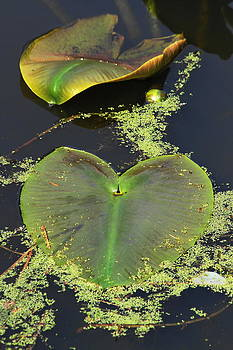 Lily Pads by Steven A Bash