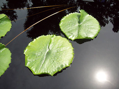 Lily Pads by Sue Midlock