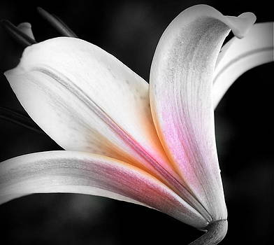 Lily Pink by Kerry Hauser
