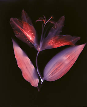Susan Leake - Lily single flower