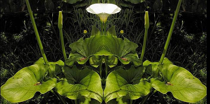Lily Symmetry  by Elery Oxford