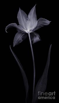 Oscar Gutierrez - Lily Tulip