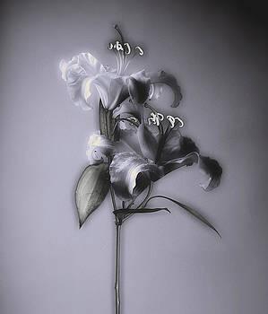 Lily_Variation#5 by Richard Wiggins