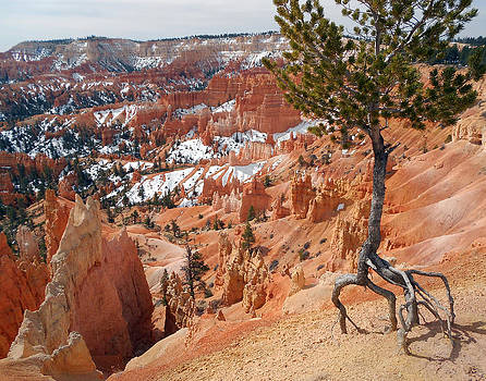 Limber Pine of Bryce Canyon by Ed Cooper