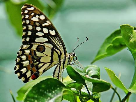 Lime Butterfly by Ajithaa Edirimane