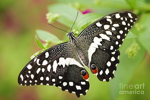 Oscar Gutierrez - Lime butterfly