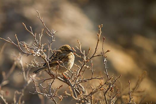 Lincoln's Sparrow by Maik Tondeur