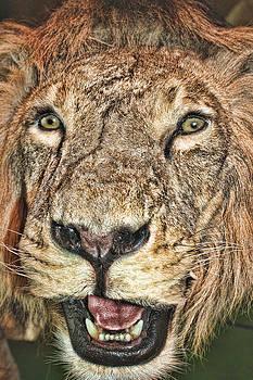 Lion by Angel Jesus De la Fuente
