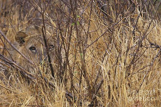 Art Wolfe - Lion