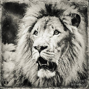 Lion BW by Izabela Kaminska