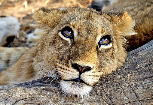 Lion  Cub  by Bruce Colin