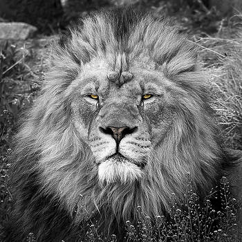 Lion by Garett Gabriel