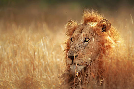 Lion in grass by Johan Swanepoel