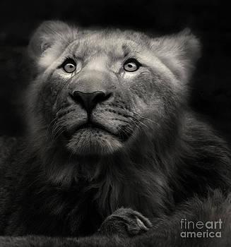 Lion in the dark by Christine Sponchia