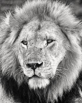 Adam Romanowicz - Lion King