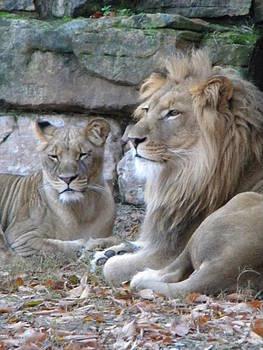 Lion Love by Amanda Eberly-Kudamik