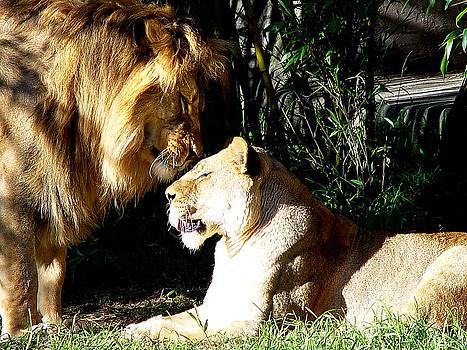 Lion Love by Joe Luchok
