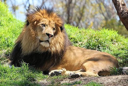 Jane Girardot - Lion Resting