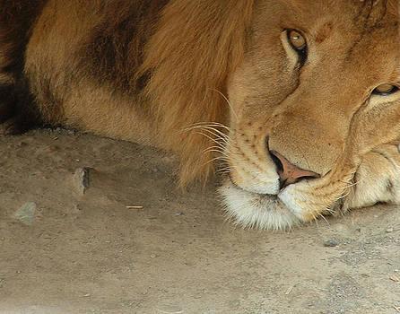 Lion by Tanya Hamell