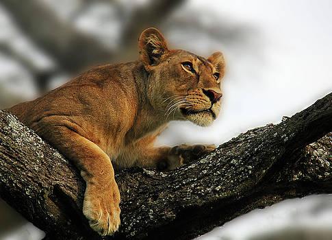 Lioness by Christine Sponchia