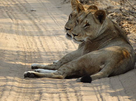 Lioness Friends by Yelnats TM