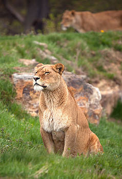 Lioness by Gillian Dernie