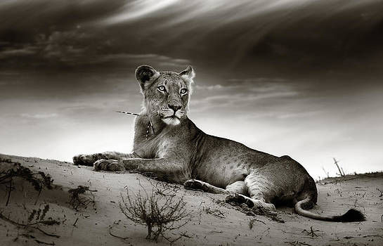 Lioness on desert dune by Johan Swanepoel
