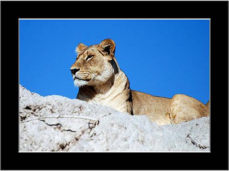 Lioness on Sentry Duty by Frank Gaffney