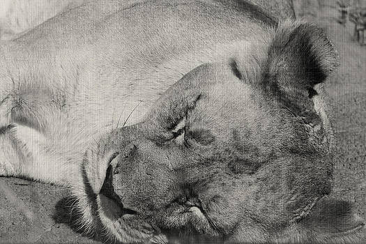 Lioness by Sarah Boyd