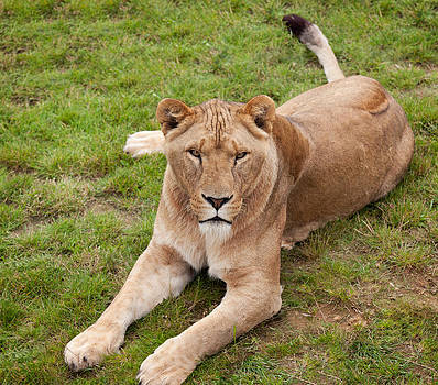 Lioness sitting in grass by Gillian Dernie