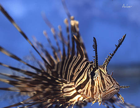 Lionfish by Aaron Acker