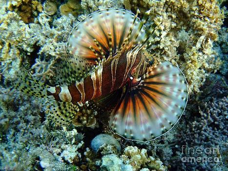 Lionfish at Ha'atafu by Crystal Beckmann