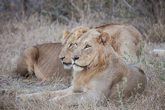 Lions by Craig Brown