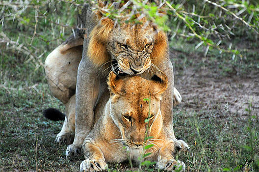 Lions Mating by Jay Walshon MD