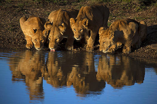 Lions of Mara Reflected by Mario Moreno