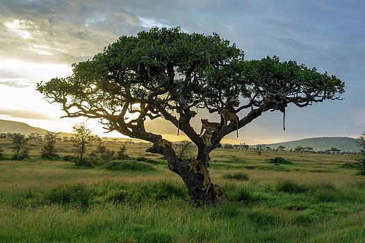 Lions Panthera Leo On Tree At Sunset by Raffi Maghdessian